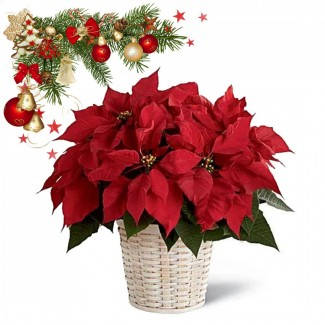 Red Poinsettia in White Basket
