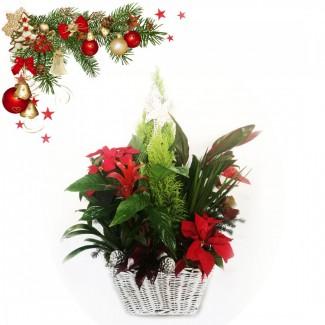 Christmas Original Plant
