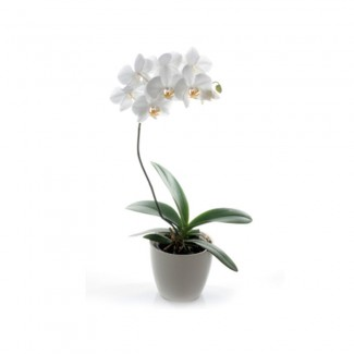 Orchids in Porcelain